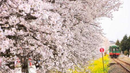2019油菜花x春櫻絕景:名古屋靜岡賞櫻+鐵道櫻花(大井川+小湊+真岡)&千鳥淵◎4/3(三)~4/9(二)